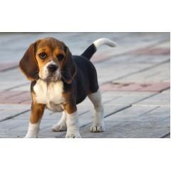 Новые правила содержания и выгула собак для крымчан: трезвый хозяин, поводок и жетон.